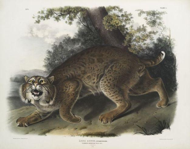 American_wildcat_-_Audubon